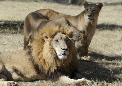 Lion Park Tour